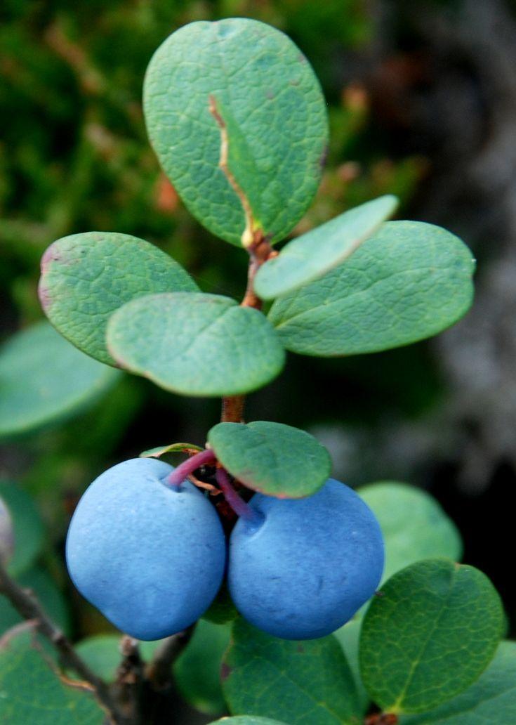 Juolukka - bog whortleberry-vaccinium uliginosum-myrtille des marais.