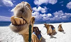 Resultado de imagem para fotos de camelos