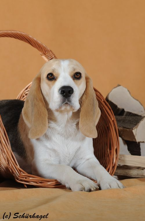 Maglodi Biggy-Boys Dream (Dream) - Vienna Calling – The Beagle Kennel