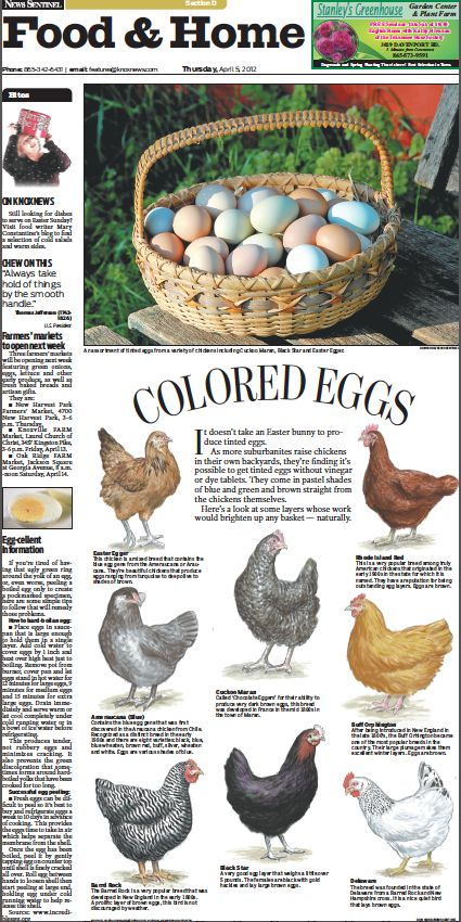 Knoxville News Sentinel artist Don Wood created this design for our Food Home front today about the variety of colored eggs produced by different breeds of chickens. Wood drew each chicken by hand.