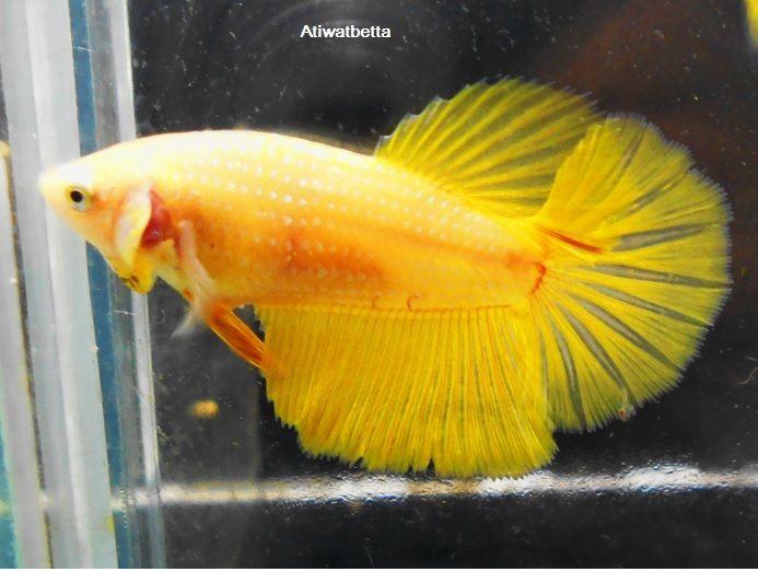 Hm Gold Yellow Female Betta Fish Siamese Fighting Fish Tropical Fish