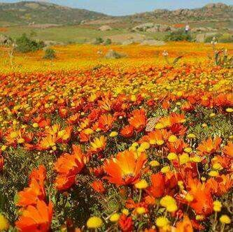 Namakwaland flowers. South Africa