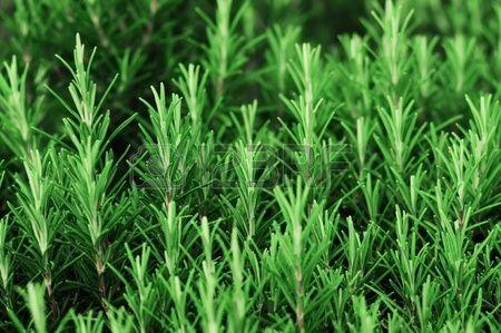 ROZEMARIJN (Rosemarinus Officinalis) Rozemarijn wordt vaak gebruikt voor het kruiden van vlees en bij het maken van thee heeft het een rustgevend effect. Het bevat een krachtig geurende en smakende etherische olie in de omgerolde grijs-groene bladeren. Door veel van het struikje te oogsten, blijft het mooi compact.
