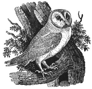 LEARN FROM THE BEST:  Barn Owl, Wood Engraving - By Thomas Bewick.