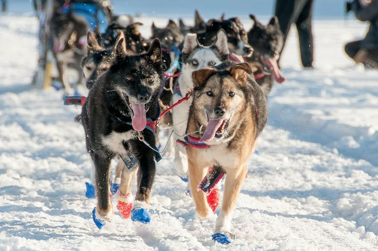 Sled Dogs at the Yukon Quest