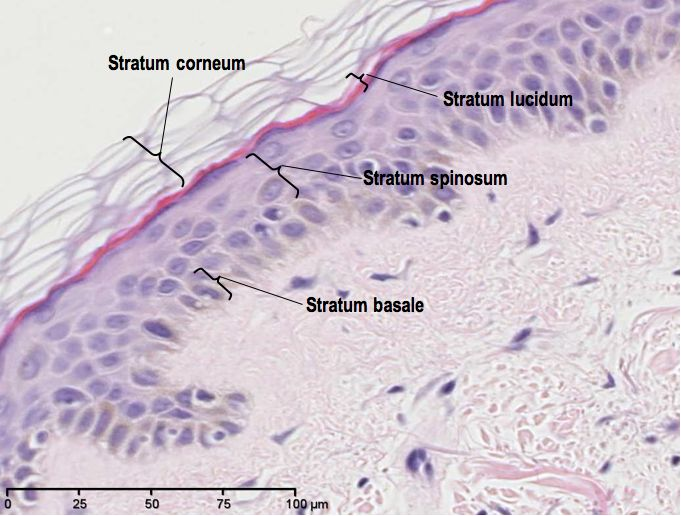 name the epithelium purple tissue In the skin, stratified squamous epithelium cells at the surface flatten and contain   and apocrine glands as well as nerves, blood vessels and soft tissue   neutrophils derive their name from the secondary granules because they stain  with neutral dyes  the cytoplasm has a distinctive purple appearance, other  than the.