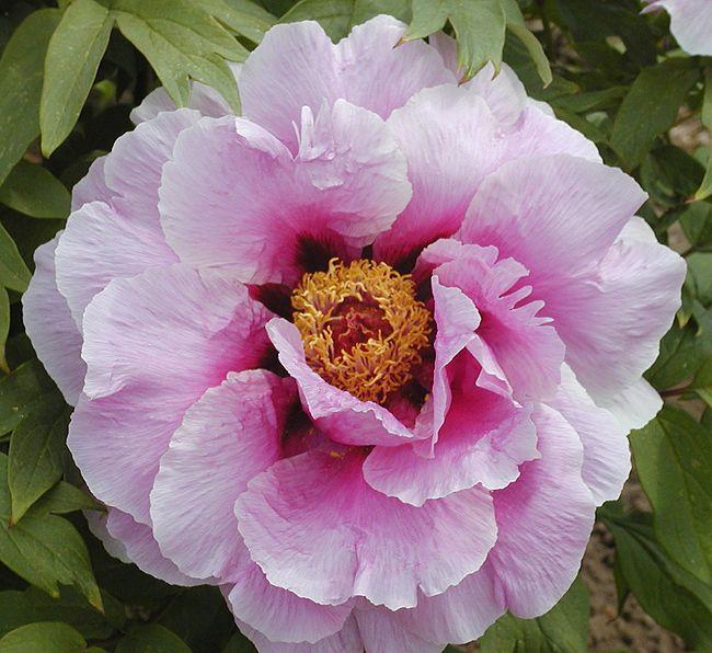 Paeonia suffruticosa 'Ofuji Nishiki'