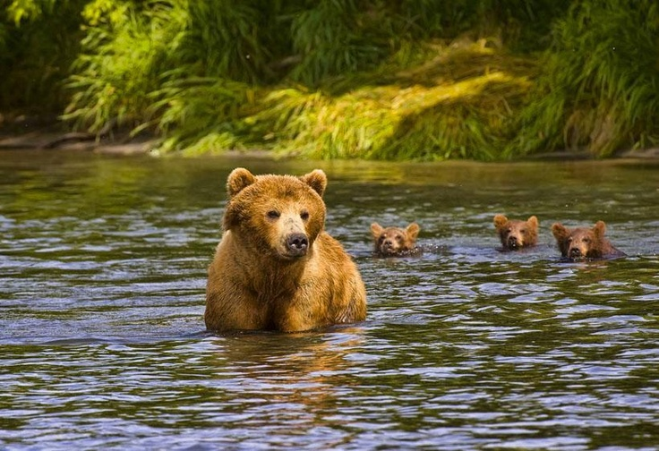 The photographer is unknown. What a great depiction of a family of grizzlies or brown bears. May they live in peace from humans.  from the page of Wendy Chambers.    Awareness and Understanding saves bears lives.  http://www.facebook.com/pages/Bear-With-Us-Sanctuary-and-Rehabilitation-Centre-for-Bears/166055033434815