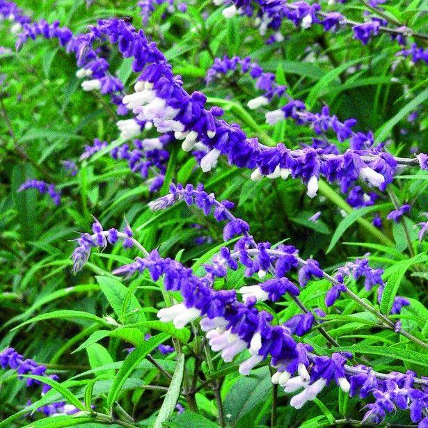 Salvia+leucantha+-+Sauge+arbustive