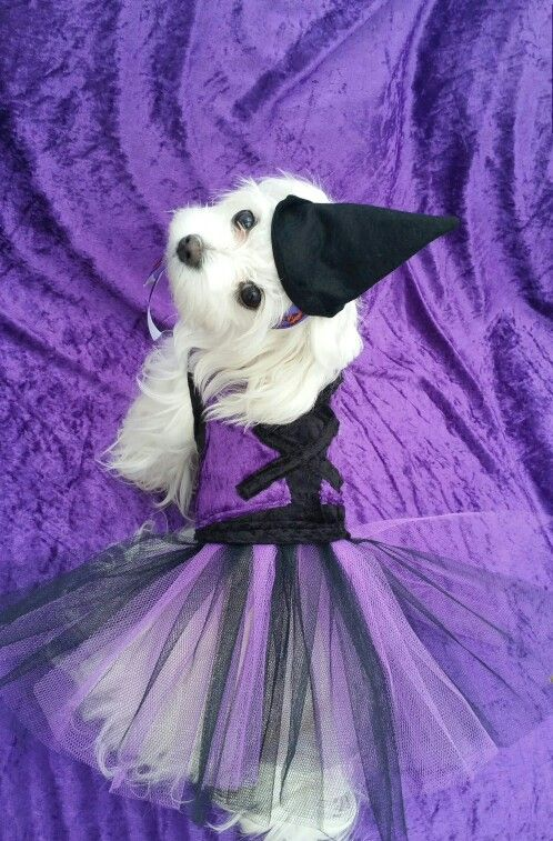 Halloween witches dress you can purchase from www.pixiesposhpets@yahoo.co.uk