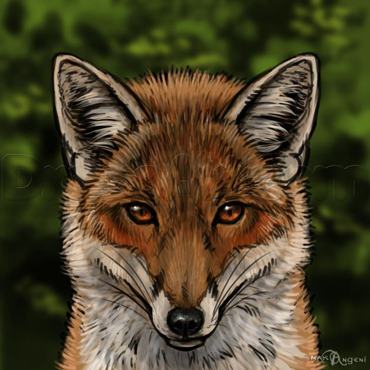 how to draw foxes -- step by step instructions