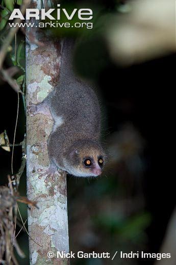 hairy eared dwarf lemur foraging at night