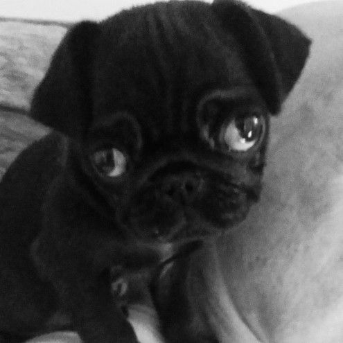 Black Pugs for Adoption | Black Male Baby Pug for Sale | London, West London | Pets4Homes