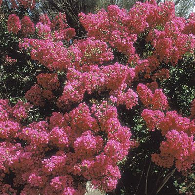 Crape myrtle (Lagerstroemia indica) The signature plant for many hot-summer regions, crape myrtle have showy summer flowers, good-looking bark, and brilliant fall color. Long, cool autumns yield the best leaf display. In cool-summer regions, these plants flower less, and mildew is a more serious problem among susceptible varieties. L. indica grows to 25 ft. tall and wide but can kept to a small tree with pruning. Crinkly-petaled, crepelike, 1–11⁄2-in. flowers in white, pink, red and purple.