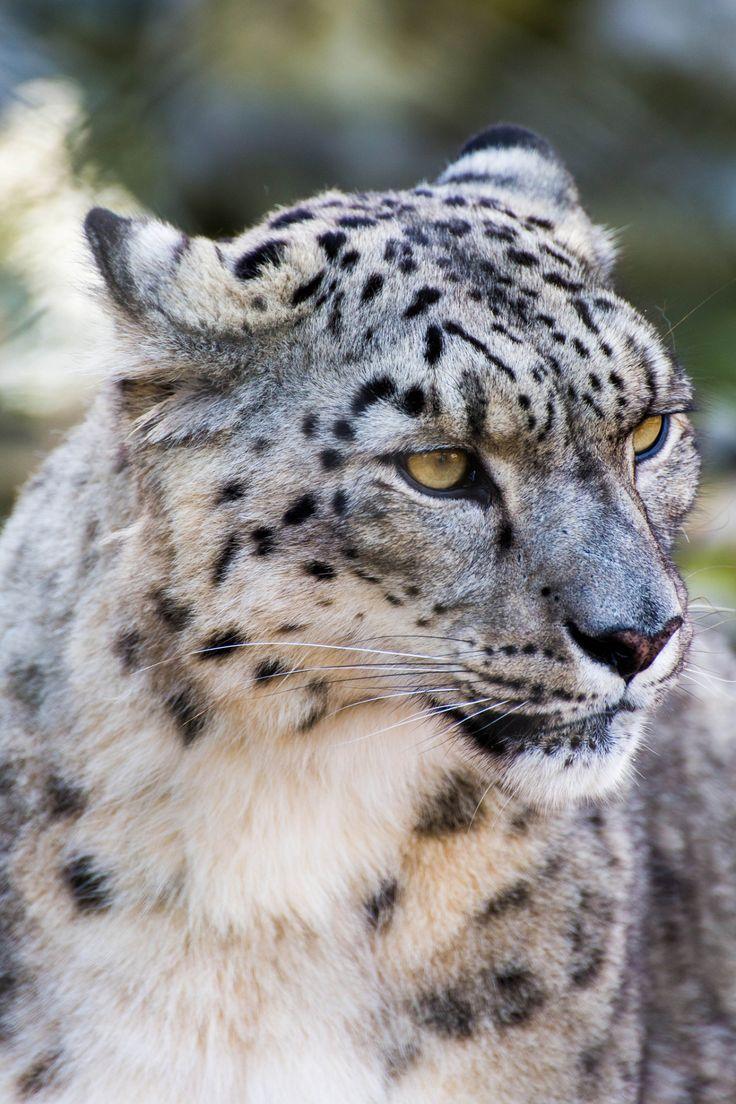 "wild-diary: "" Snow Leopard   IggleWiggleWoo ""                                                                                                                                                                                 More"