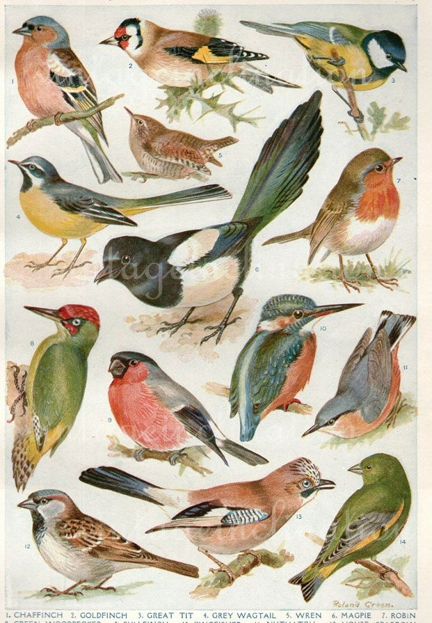 Vintage British birds illustration