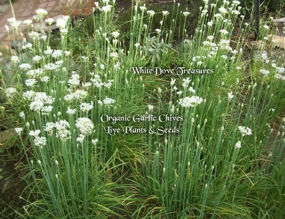 Chinese Chives Finegardening Garlic Seeds Garlic Chives Chive Seeds