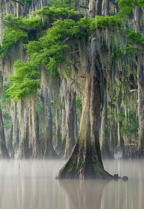 Cypress tree with Spanish moss ~ Louisiana.