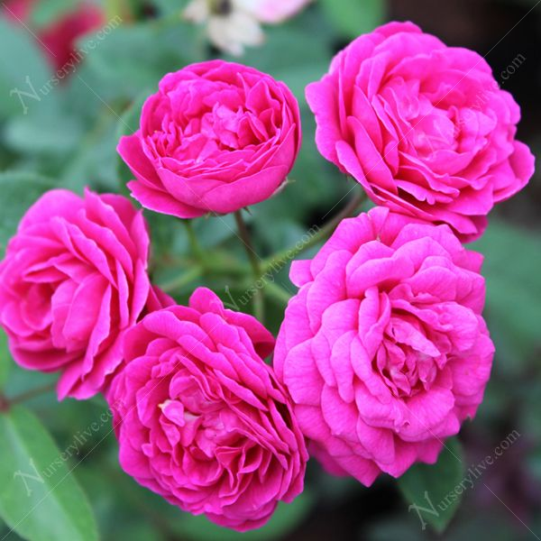 Buy Miniature Rose Button Rose Pink Plant Online From Nurserylive At Lowest Price Pink Plant Planting Roses Plants