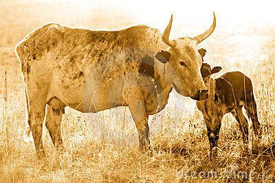 Nguni cow and calf by Kaz2, via Dreamstime