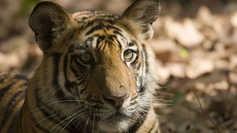 Nepal sees tiger population go up by 63% since 2009