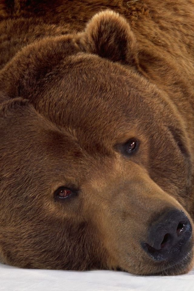 BROWN BEAR ~ PORTRAIT  ❤️. I love this guy!!!! ❤️