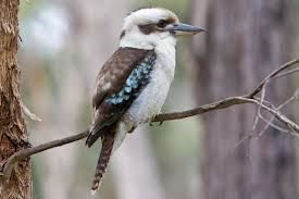 Image result for kookaburra