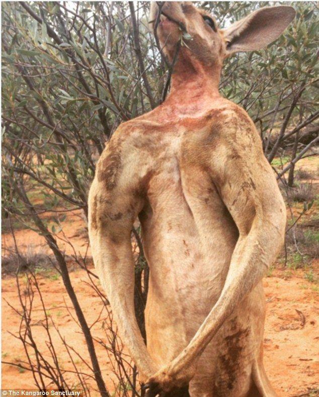 Jacked Kangaroo Muscles