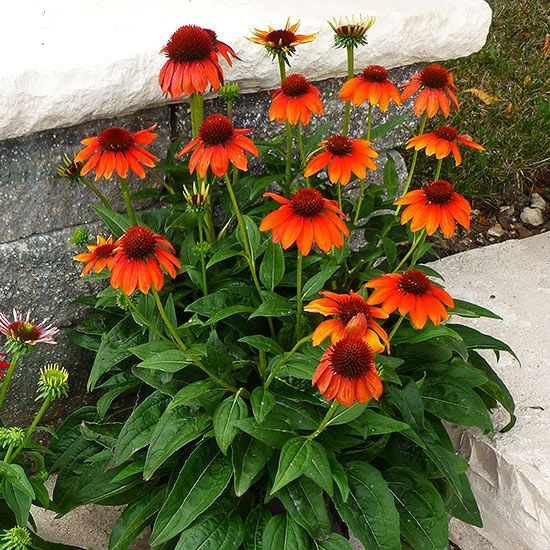 Sombrero Flamenco Orange Coneflower - you can't go wrong with 'Flamenco Orange' coneflower. This newest member of the Sombrero family sports bright orange flowers on strong stems that will stand up to rough weather. The plants seem to be in almost constant bloom and are highly attractive to butterflies. Plant Name: Echinacea Sombrero 'Flamenco Orange' Growing Conditions: Full Sun Size: 24–26 inches tall, 18–20 inch