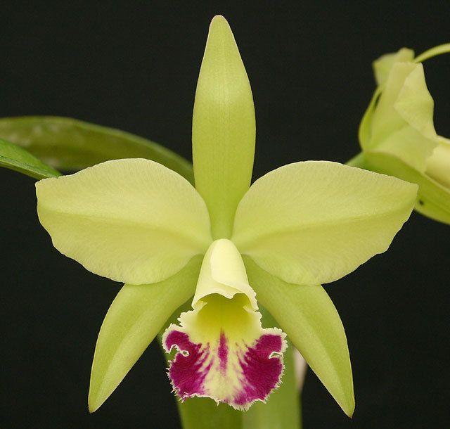Odom's Orchids, Inc. - Blc. Greenwich 'Elmhurst' AM/AOS., $40.00 (http://www.odoms.com/products/blc-greenwich-elmhurst-am-aos.html)