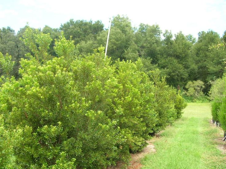 Wax Myrtle Hedge Myrica Cerifera Sun To Light Shade Highly Salt Tolerant Evergreen 10 20