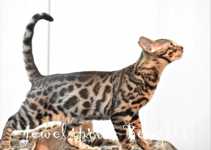 Abyssinian Kittens For Sale California