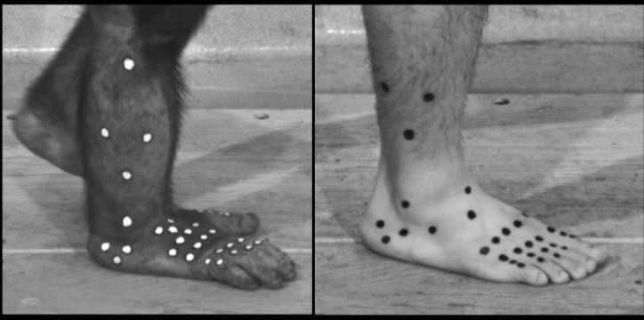 An investigation into the evolution of human walking by looking at how chimpanzees walk on two legs is the subject of a new research paper published in the March 2017 issue of Journal of Human Evolution.