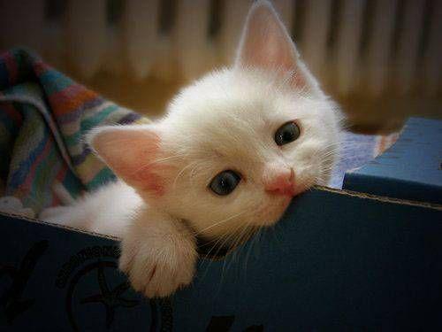 .: Funny Kitty, Sweet, Animal Baby, Pet, Blue Eye, Baby Animal, Cute Kittens, White Kittens, Baby Cat