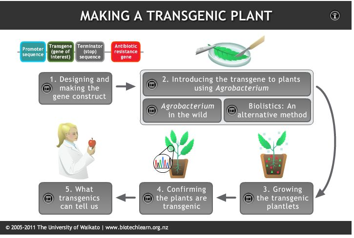 This interactive illustrates a technique used by scientists to generate transgenic plants.
