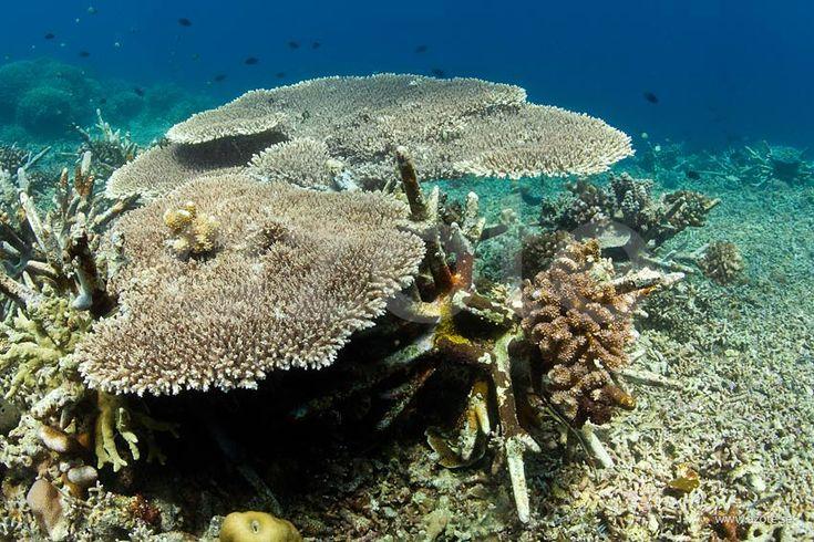 Återetablering av korallrev e