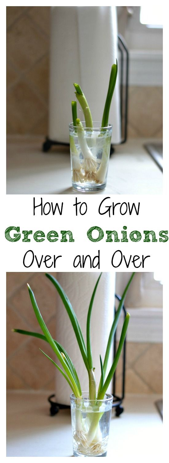 How to Grow Green Onions...place the ends in a small jar with water and in about a week they will regrow to original size