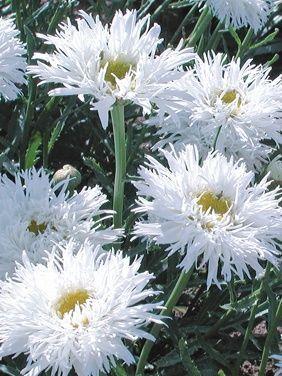 Leucanthemum Aglaia Shasta Daisy: Full Sun, perennial, blooms all summer if deadheaded, divide every 2-3 years. So fluffy pretty!