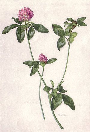 Red Clover- The Detox Weed. Make tea/infusions for coughs, colds, bronchitis, hot flashes & constipation.