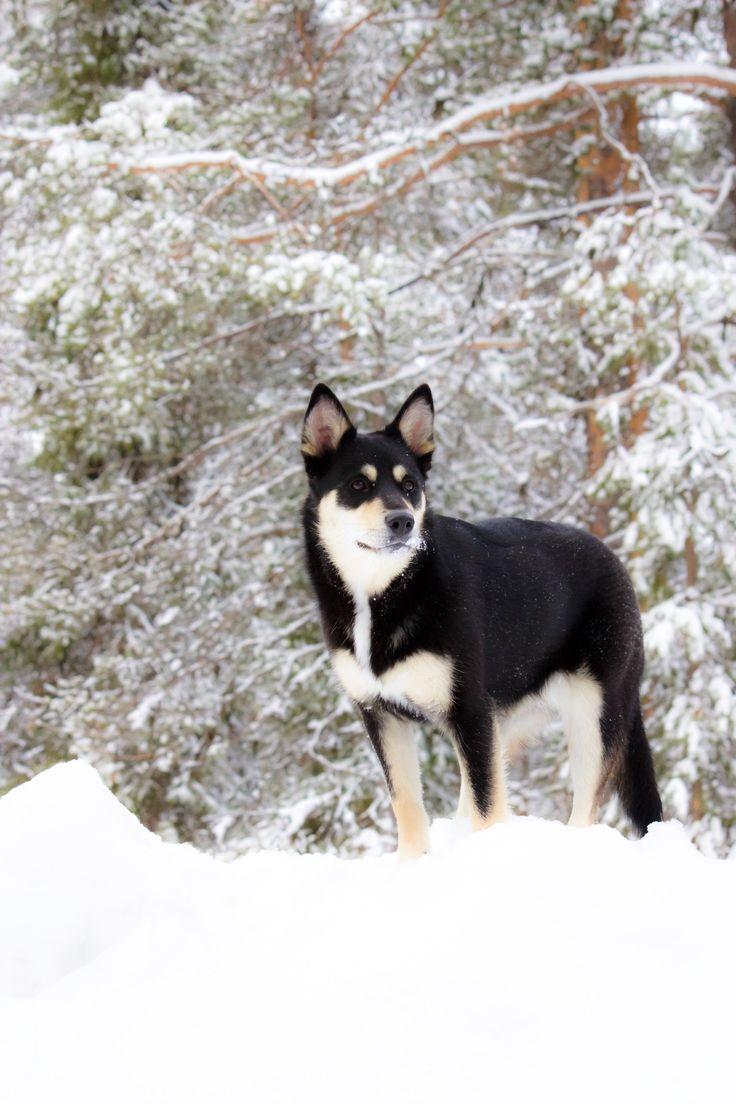 Dog from Finnish Lapland, lapponian herder, lapinporokoira  Seita
