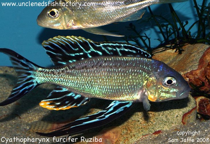 47 best tanganyika cichlids images on pinterest lake for Lake tanganyika fish