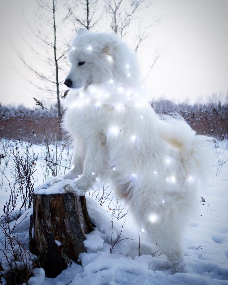Star light, star bright samoyed @annakasatkinaru