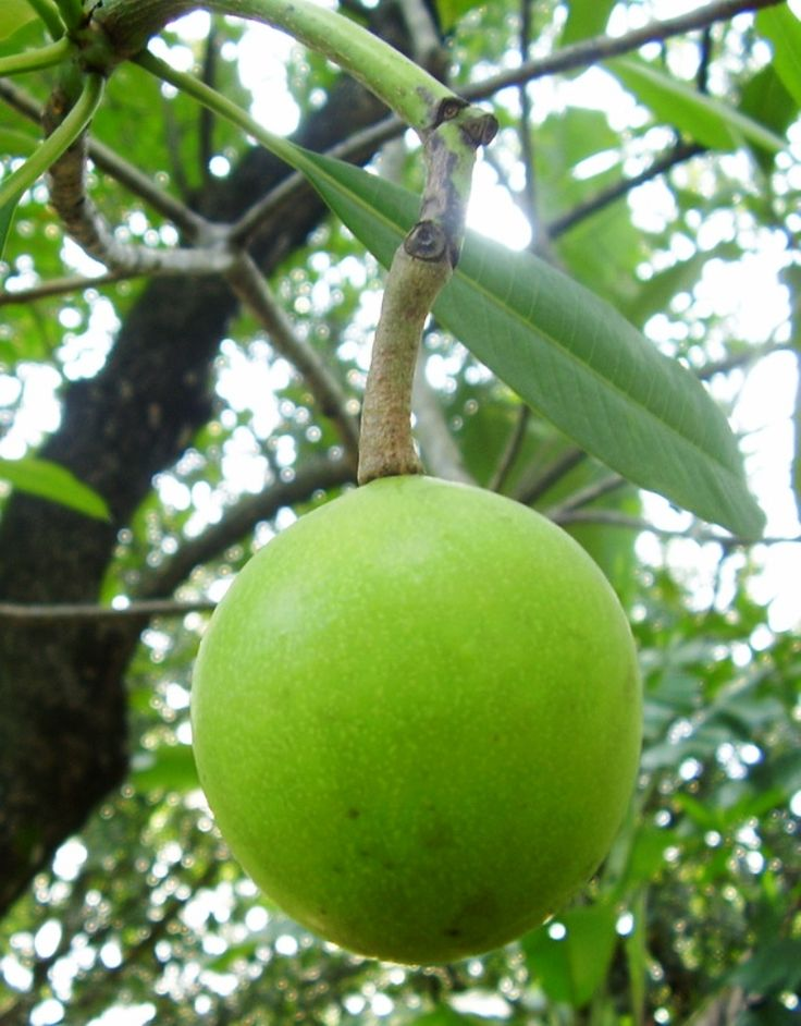 Fruit of Cerbera odollam | Flickr - @ Ing123. | commonly known as the Suicide tree, Pong-pong, and Othalanga