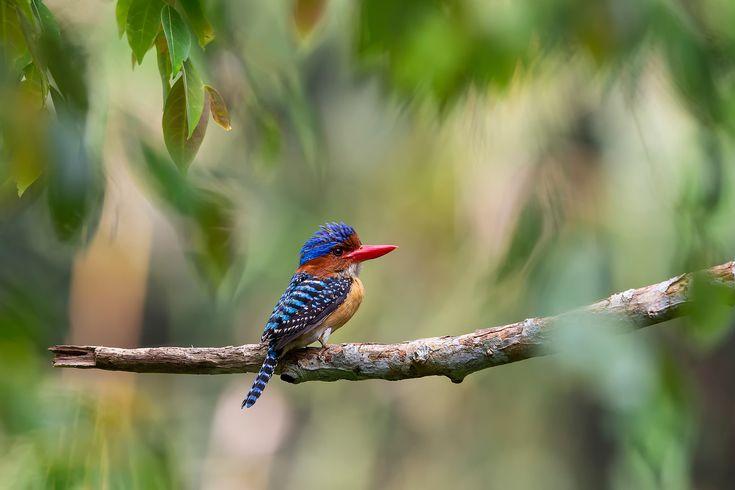 Скачать обои ветка, Малайзия, деревья, Lacedo pulchella, полосатый зимородок, листва, птица, джунгли, раздел животные в разрешении 2048x1365