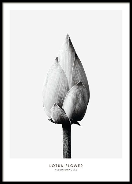 Botanical poster in black and white with a photograph of a lotus flower. The poster has a gray background and a white border. This stylish piece is one of our most popular posters and it's not hard to see why! It will add a tasteful and elegant touch to your wall, either by itself or in combination with the Thistle flower from the same series. www.desenio.com