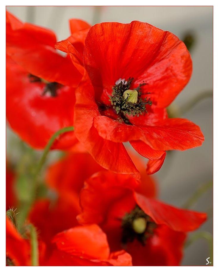 wild poppy flowers on - photo #43