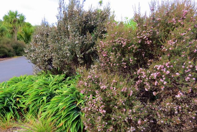 15 Top Plants for Drought-Tolerant Gardens: New Zealand Tea Tree