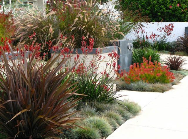 A low maintenance and water wise front garden. Kangaroo Paws (Anigozanthus) bright red colors are echoed by the Conebush (Leucadendron), an evergreen shrub that features a dense and heavy display of vivid red bracts in fall. Fuzzy, silver-gray Blue Fescue (Festuca Glauca); erect, narrow dark reddish-brown leaves of the New Zealand Flax (Phormium); graceful, rich burgundy-colored Fountain Grass (Pennisetum Setaceum Rubrum). Cooper Residence – Carlsbad, CA | Debora Carl Landscape Design
