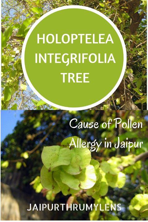 Holoptelea Integrifolia Tree cause of pollen allergy in Jaipur. #HolopteleaIntegrifolia #allergy #pollenallergy #jaipur #ayurveda #allergies #tree #treeoflife #chillbill #jaipurthrumylens