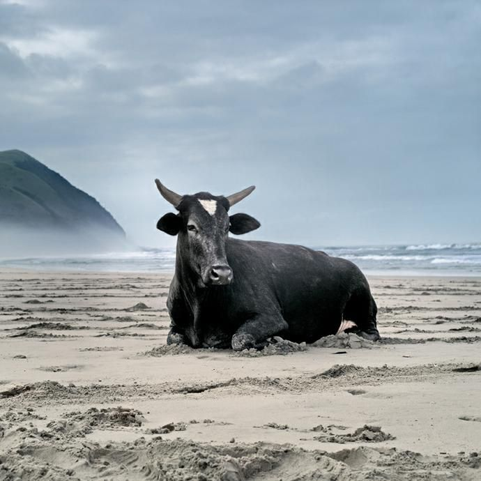 Daniel Naude - Xhosa cow on the shore. Mgazi, Eastern Cape, 19 May 2010